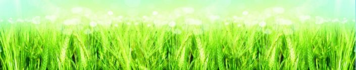 скинали для кухни пшеница зелёная солнечный день