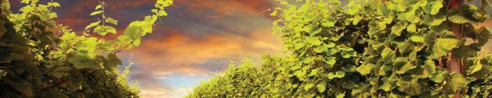 фартук для кухни виноградник